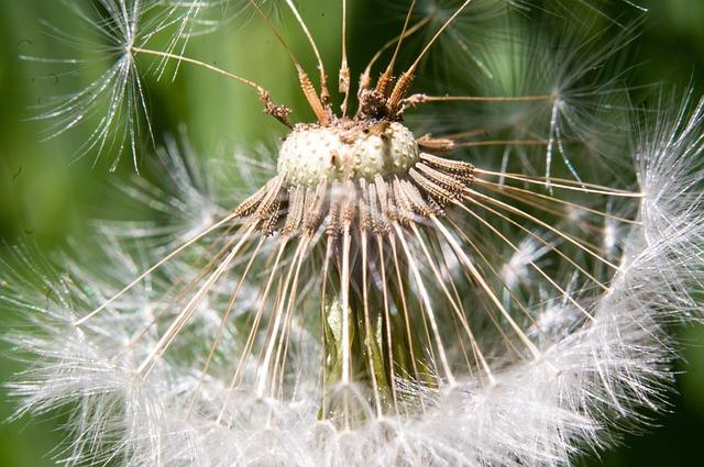 Dandelion, Macro, Flower, Fluff, Dandelions
