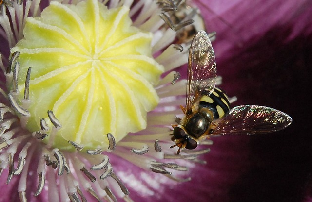 Hoverfly, Fly, Insect, Macro, Flower, Flora, Fauna