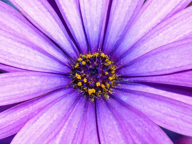 Daisy, Lilac, Detail, Foreground, Flower