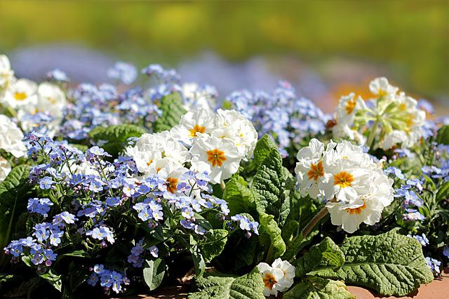 Primrose, Forget, Flower, Flower Bed, Spring