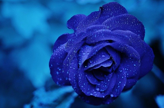 Rose, Blue, Flower, Bloom, Romance, Floral, Fresh