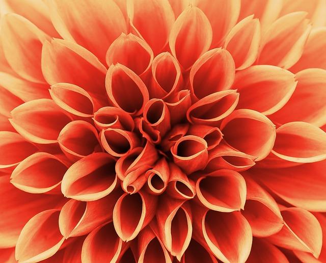 Dahlia, Autumn, Asteraceae, Flower Garden