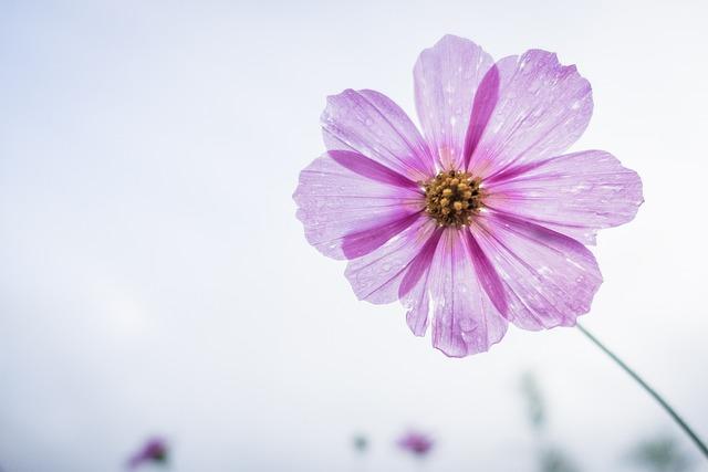 Cosmos Flower, Flower, Garden, Floral, Blossom