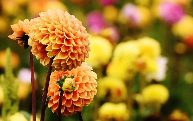 Dahlia, Dahlias, Autumn, Asteraceae, Flower Garden