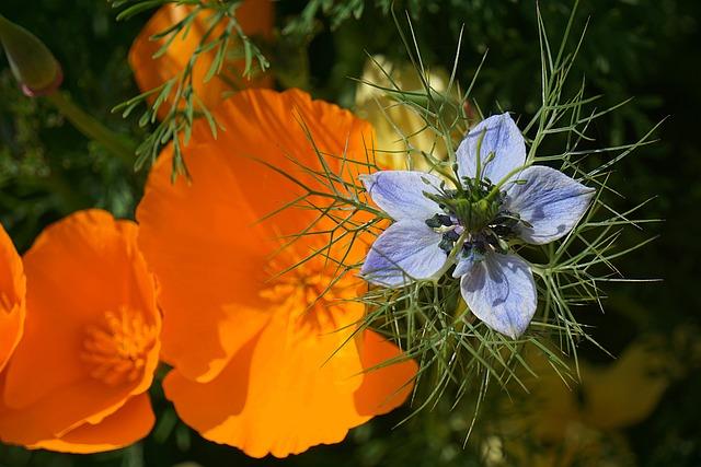 Nigella, Flower, Damascus Nigella, Flower Garden