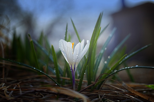 Nature, Crocus, Plant, Outdoors, Flower, Leaves, Garden