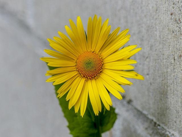 Flower, Daisy, Yellow, Close Up, Plant, Garden, Nature