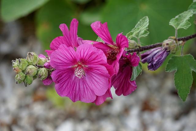 Hollyhock, Flower, Flora, Botany, Garden, Nature