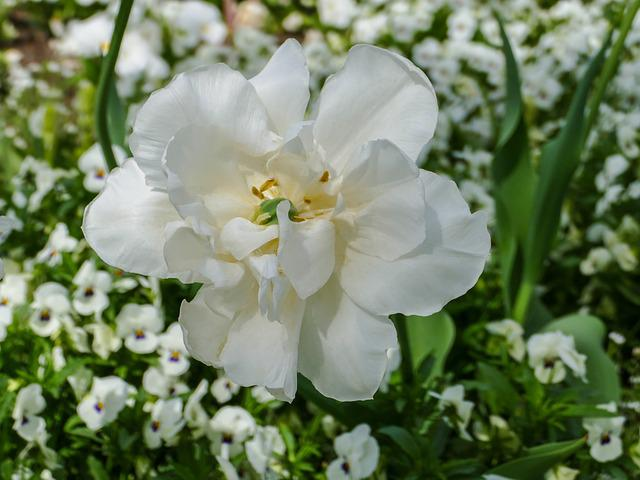 White Tumor, Pansy White, Flower, Plant, Nature, Garden