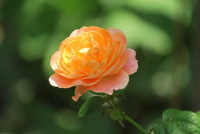 Flower, Nature, Plant, Garden, Leaf, Rose, Outdoor
