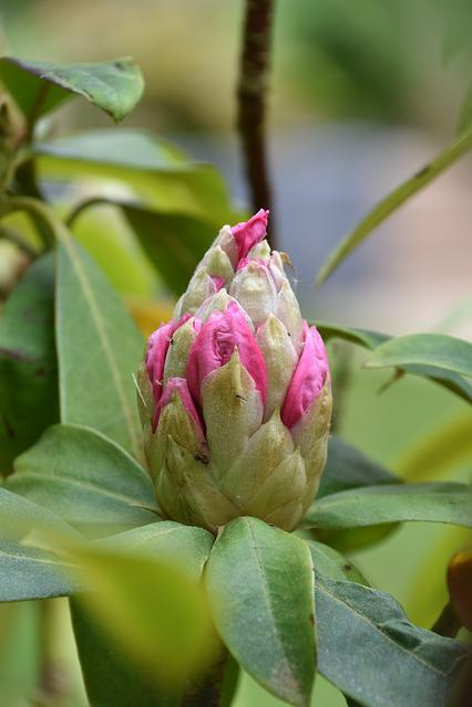 Nature, Plant, Leaf, Flower, Garden, Bud, Rhododendron