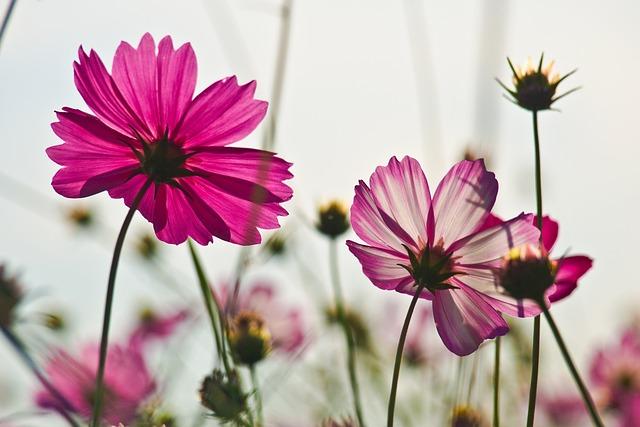 Flowers, Cosmos, Autumn, Flower Garden, Plants