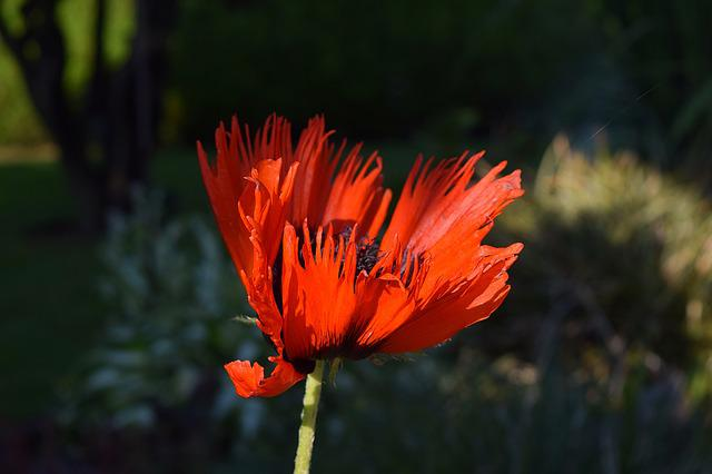 Poppy, Flower, Poppy Flower, Nature, Garden