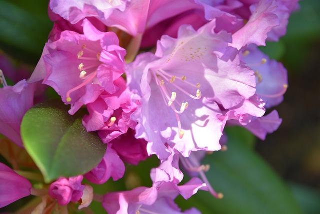 Flower, Rhododendron, Purple, Flowering, Garden, Nature