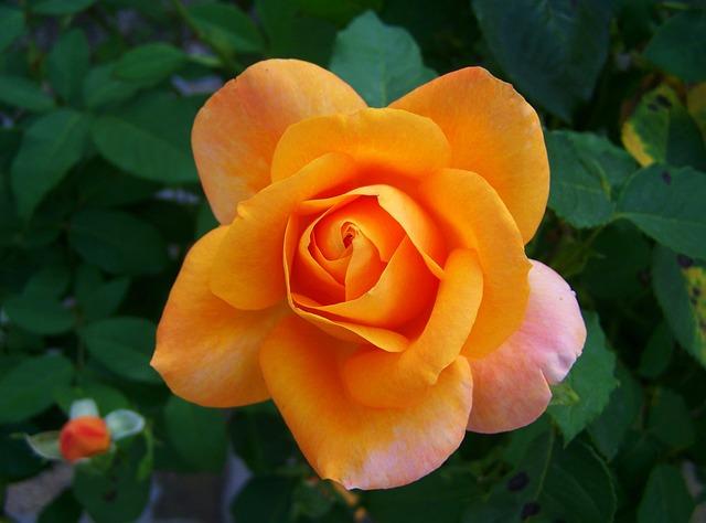 Rose, Peach Color, Flower Garden
