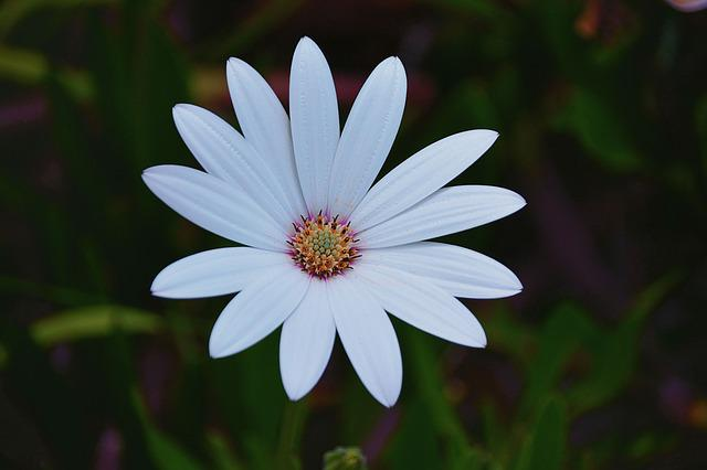 Flower, Marguerite, Petals, White, Nature, Garden