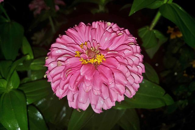 Zinnia, Flower, Garden, Gardening, Pink Flower