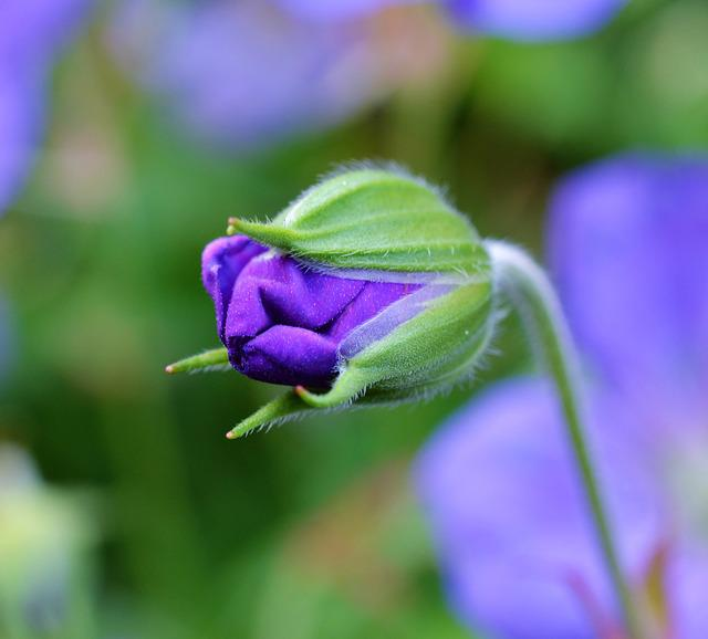 Cranesbill, Geranium, Bud, Blossom, Bloom, Blue, Flower