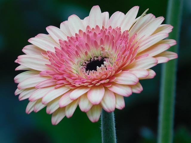 Flower, Gerbera, Pink, Macro