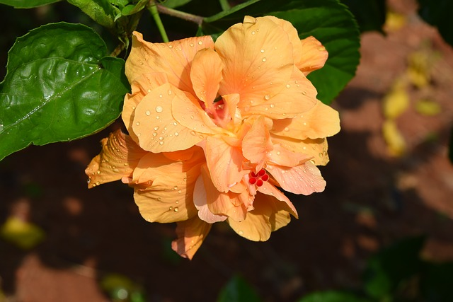 Hibiscus Rosa-sinensis, Flower, Golden Double