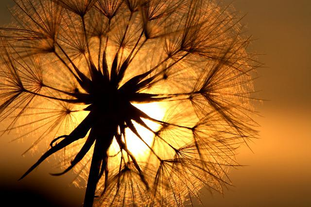 Dandelion, Flower, Back Light, Meadow, Grass, Grasses