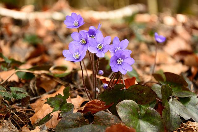 Hepatica, Blossom, Bloom, Flower, Bloom, Spring, Ground