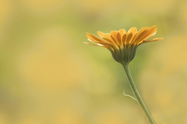 Marigold, Flower, Nature, Flora, Summer, Growth