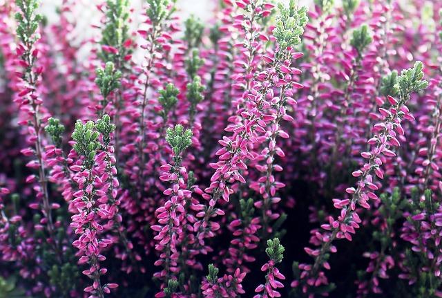 Heather, Erika, Flower, Flowers, Pink, Garden, Autumn