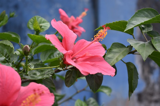Hibiscus, Flower, Pink Flower, Nature, Floral, Blossom