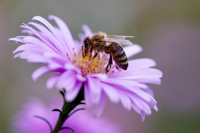 Bee, Insect, Flower, Honey Bee, Pollination, Aster