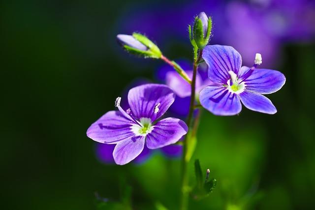 Honorary Award, Veronica, Blossom, Bloom, Flower, Blue