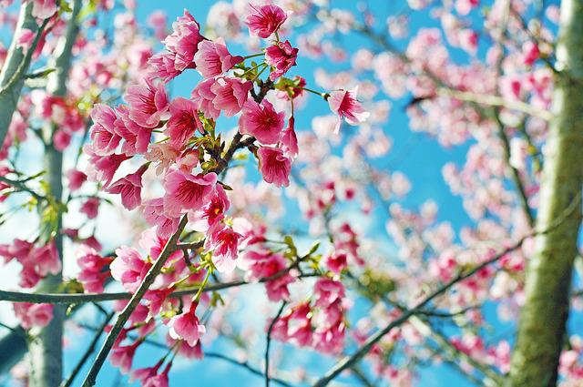 Cherry Blossoms, Flower, Pink, Hua Xie, Plant, Spring