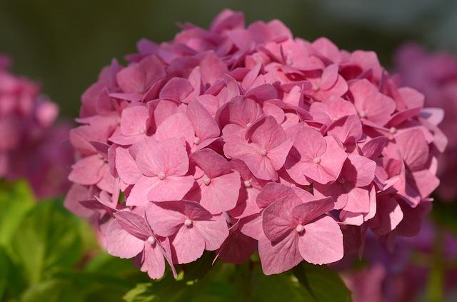 Hydrangea, Bush, Flower, Blossom, Bloom, Plant, Nature