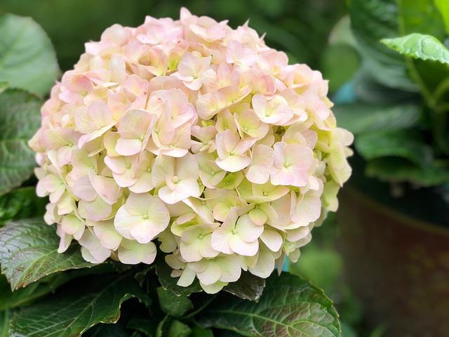 Flower, Nature, Plant, Foliage, Hydrangea
