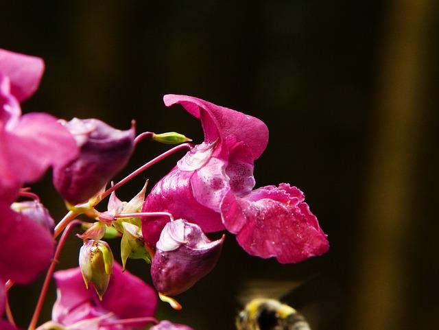 Balsam, Indian Springkraut, Himalayan Balsam, Flower