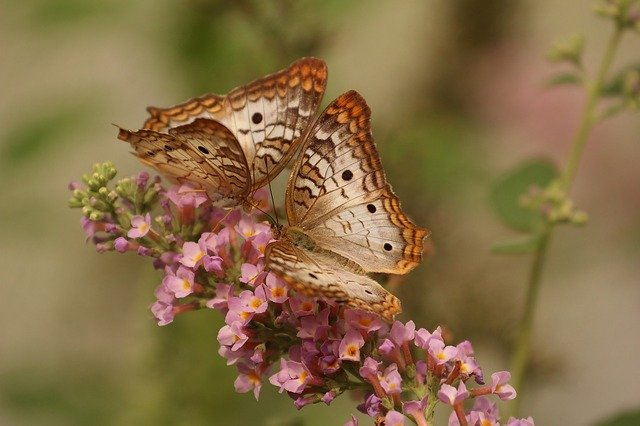 Butterfly, Macro, Insects, Nature, Couple, Flower