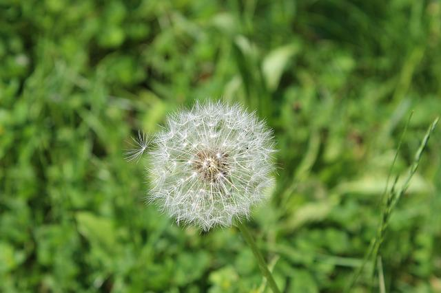 Flower, Dandelion, Isolated, Pointed Flower, Close