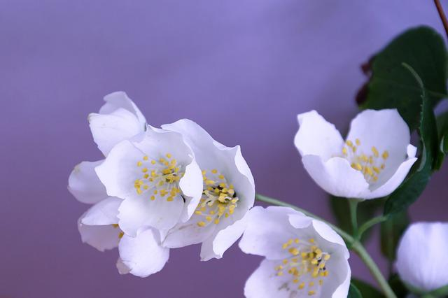 Jasmin, Flower, Blossom, Bloom, Fragrance, White