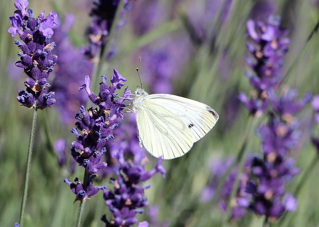 Butterfly, Insect, Lavender, Plant, Flower