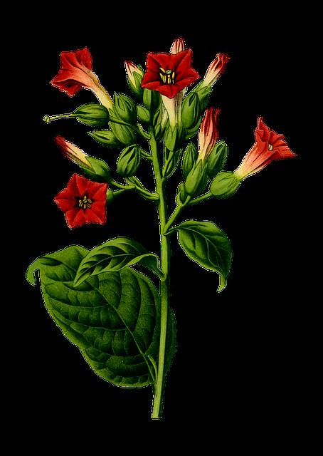 Cigar, Cigarette, Flora, Flower, Herbaceous, Leaf