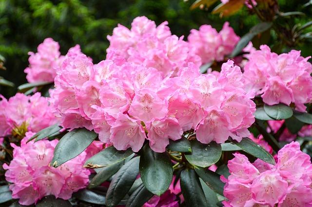 Flower, Garden, Plant, Nature, Leaf, Rhododendron, Pink