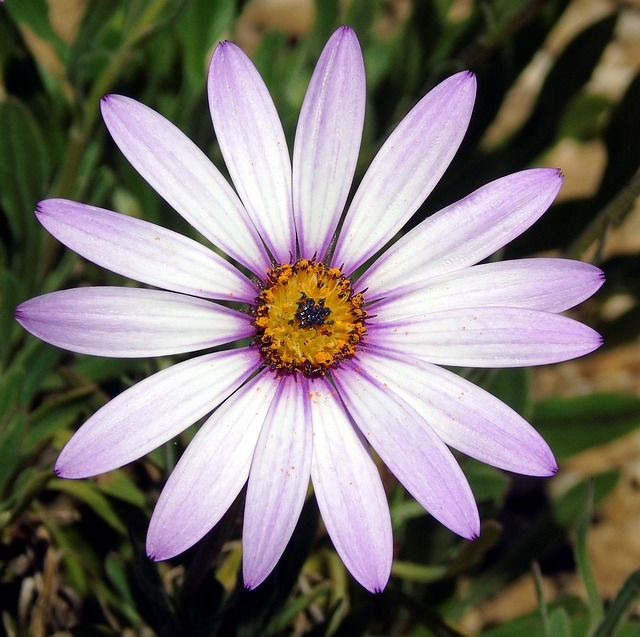 Osteospermum, Lady, Leitrim, Flower, Daisy, Petals