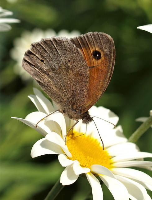 Butterfly, Insect, Nature, Wing, Lepidoptera, Flower