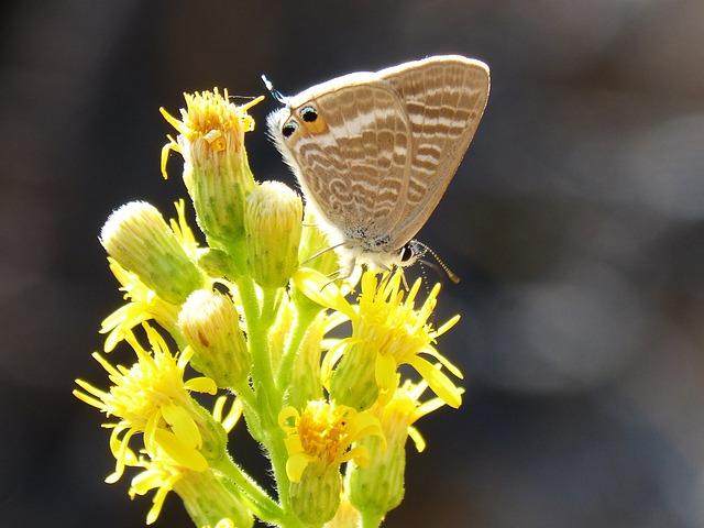 Butterfly, Teenindusega Boeticus, Flower, Libar