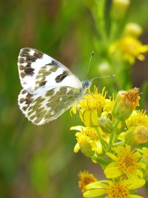 Butterfly, Flower, Libar, Euchloe Crameri