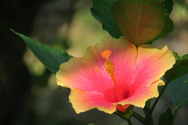 Hibiscus, Plant, Flower, Bloom, Light, Beautiful