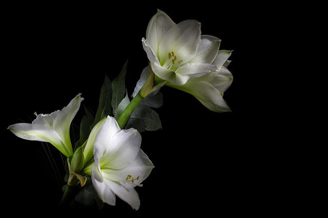 Light Painting, Amaryllis, Flower, White