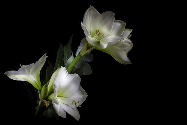 Light Painting, Amaryllis, Flower, White