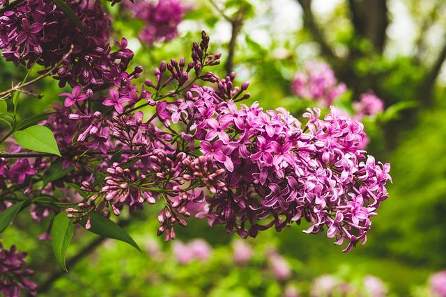 Lilac, Purple, Flower, Garden, Nature