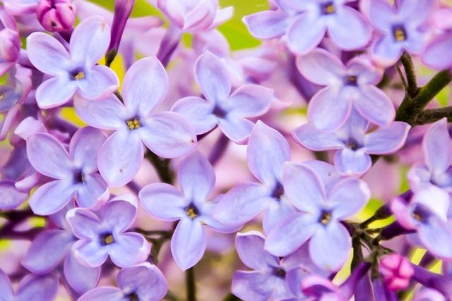 Lilac, Violet, Pink, Fragrance, Spring, Natural, Flower